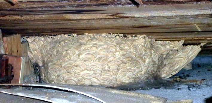 wespennestentfernung wespen und ihr nest entfernen. Black Bedroom Furniture Sets. Home Design Ideas